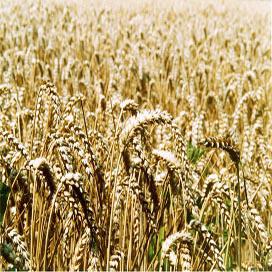 'Nederland moet eigen graanvoorraad hebben
