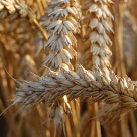 FAO: wereld krijgt meer tarwe beschikbaar