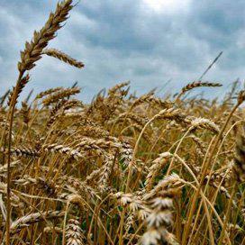 Eindvoorraad graan in EU krap