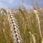 Profiteren van hoge graanprijzen?