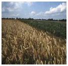 IGC: wereld oogst meer graan