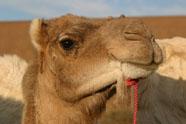 Bakker Bas Vermeulen presenteert Kamelenbrood