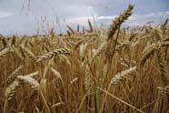 Mondiale tarweproductie naar beneden bijgesteld