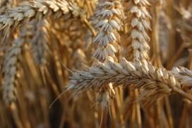 Rectificatie: hoge tarweprijs wordt doorberekend