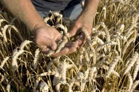 Onderzoek naar verband tussen graanconsumptie en gezondheid