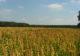 Dutch quinoa gewas brabant e1496932430791 80x56