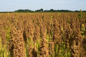 Nederlandse quinoa komt goed van het land